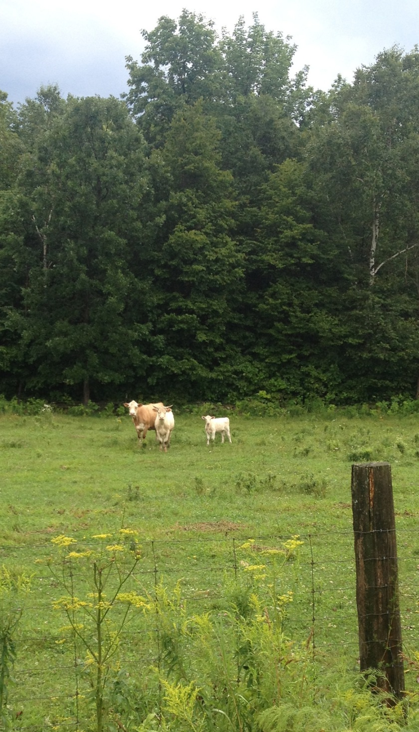 Befuddled bovines